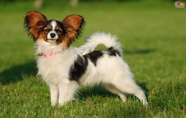 Longest Living Dog Breeds List How To Extend Your Dog S Lifespan