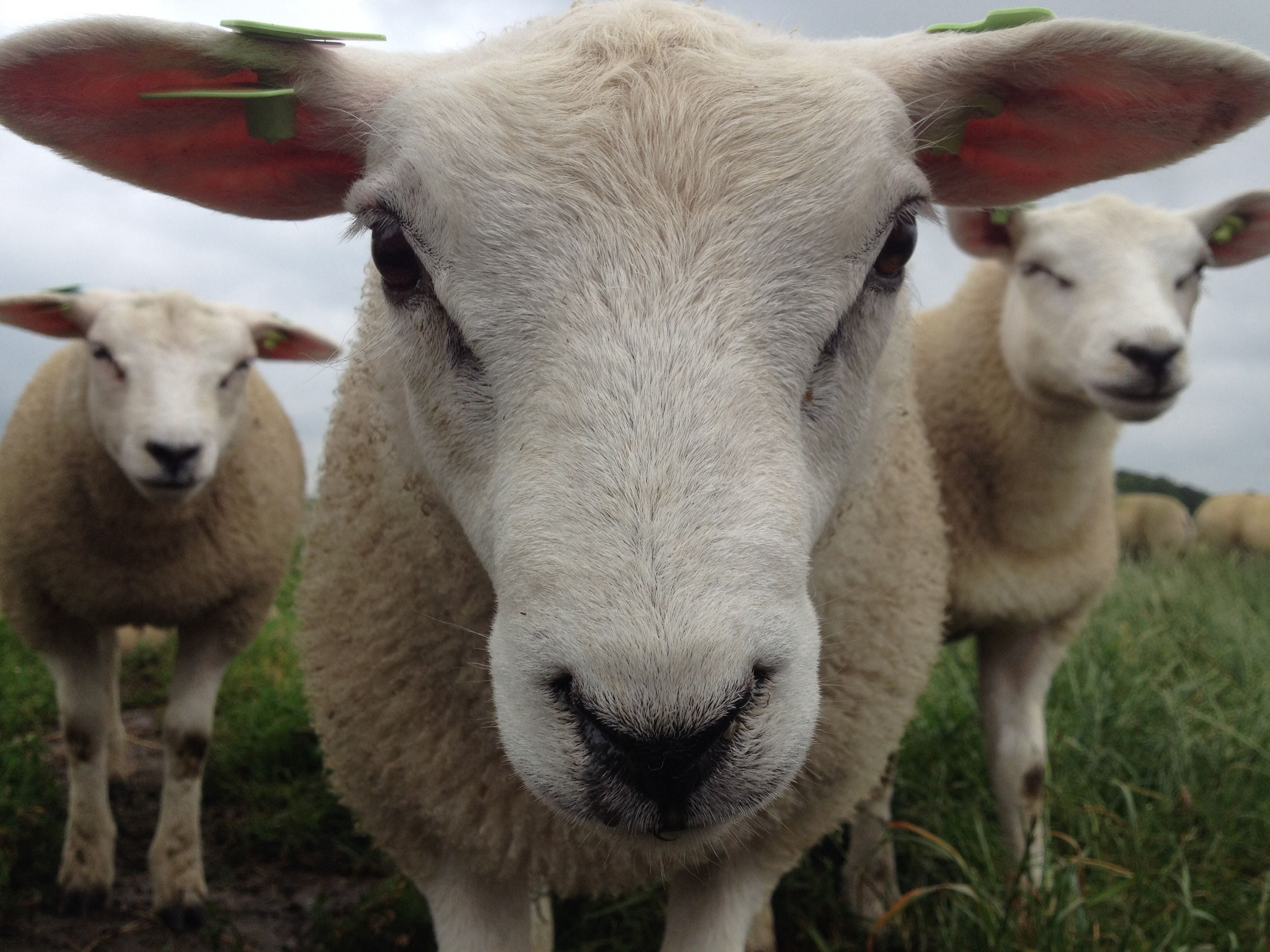 Pin by Pat Price on Sheep Pet portraits, Sheep, Animals