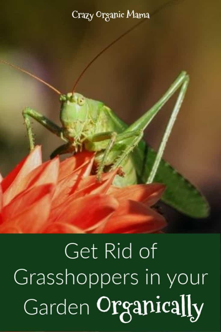 Natural Grasshopper Control Methods – Garden pests