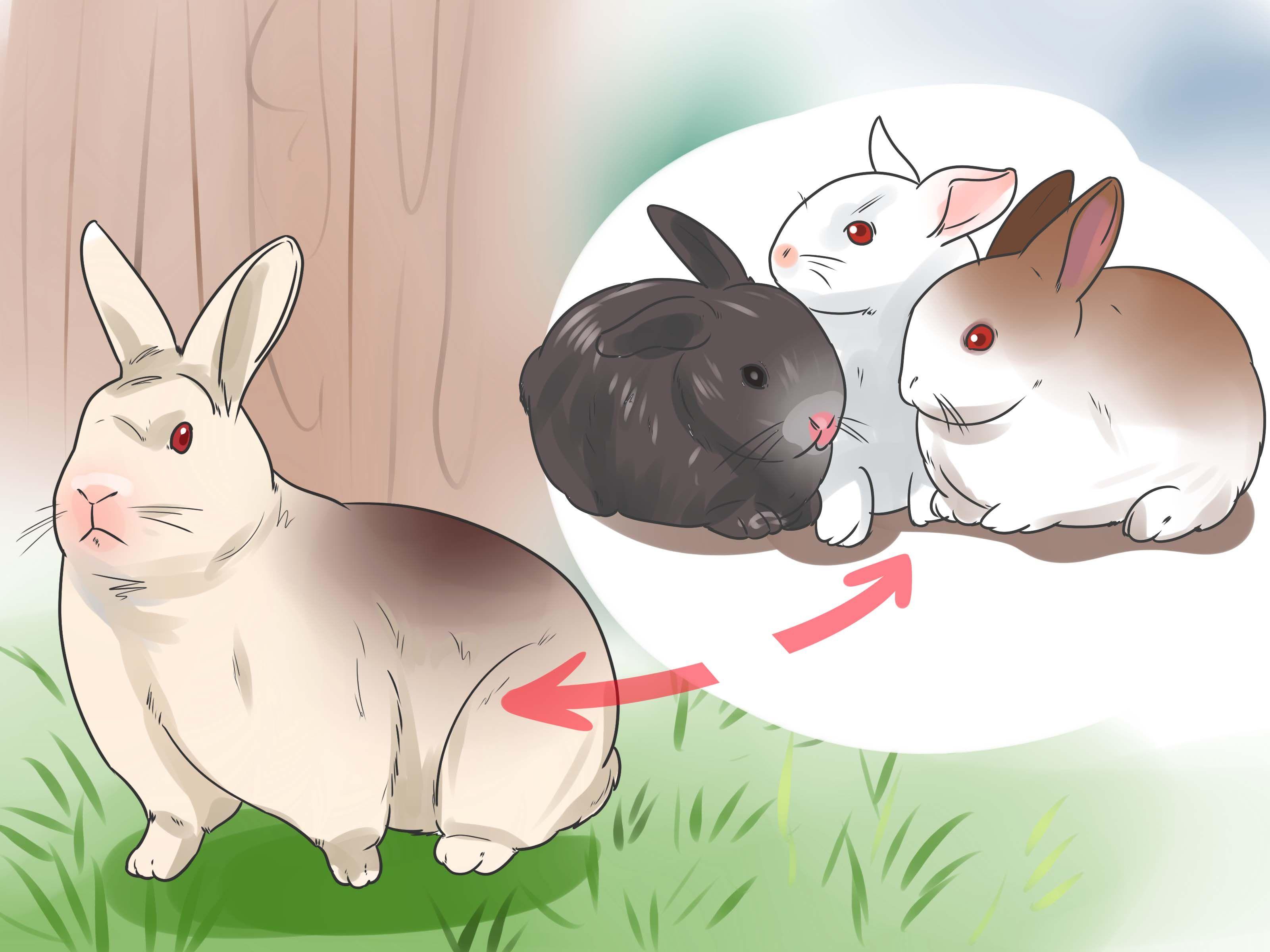 Breed Rabbits Kaninchen Zuchten Kaninchen Mini Lop