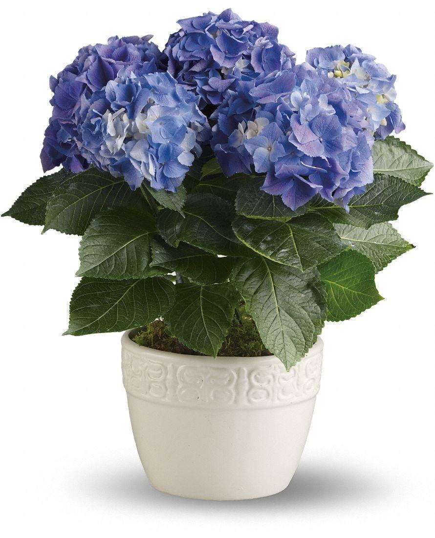 Hydrangea Care Guide For Growing Hydrangeas Indoors Growing Hydrangeas Hydrangea Care Indoor Flowers