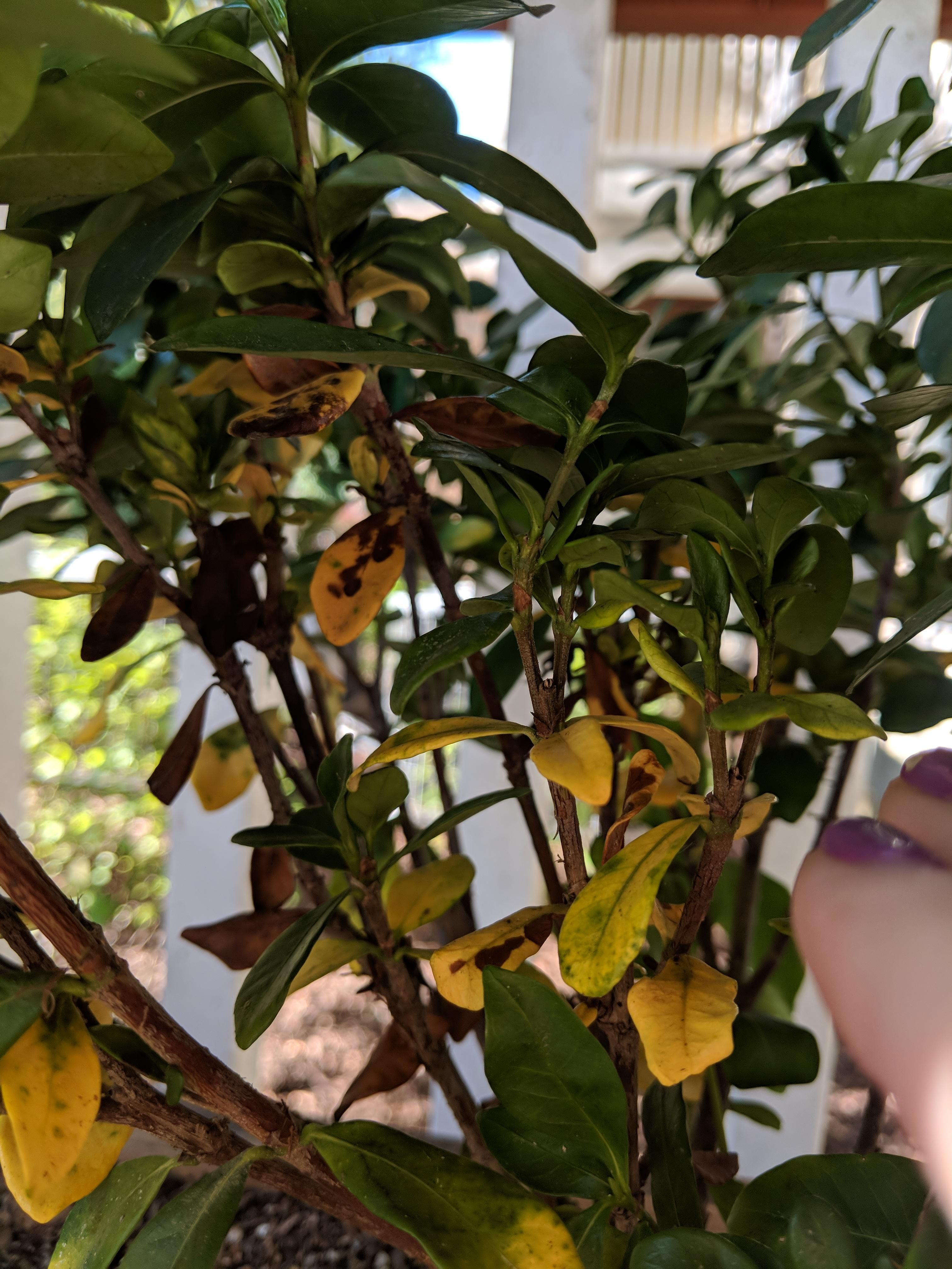 Help Yellowing And Brown Spotted Leaves On Gardenia Gardening Garden Diy Home Flowers Roses Nature Landsc Gardenia Plant Plant Leaves Yellow And Brown
