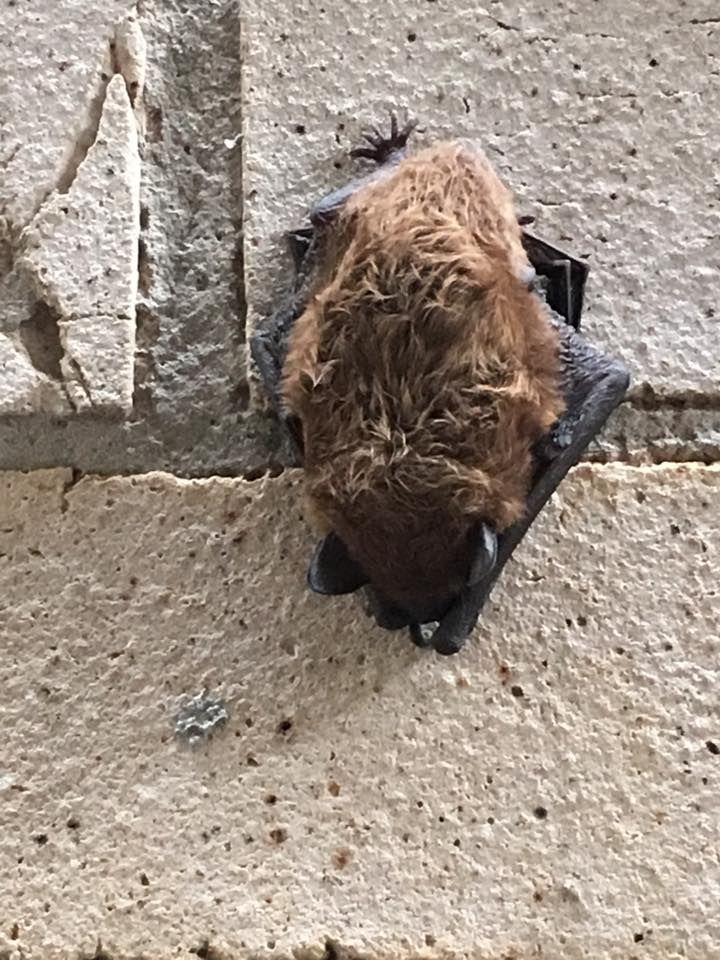 Little Brown Bat On A Wall