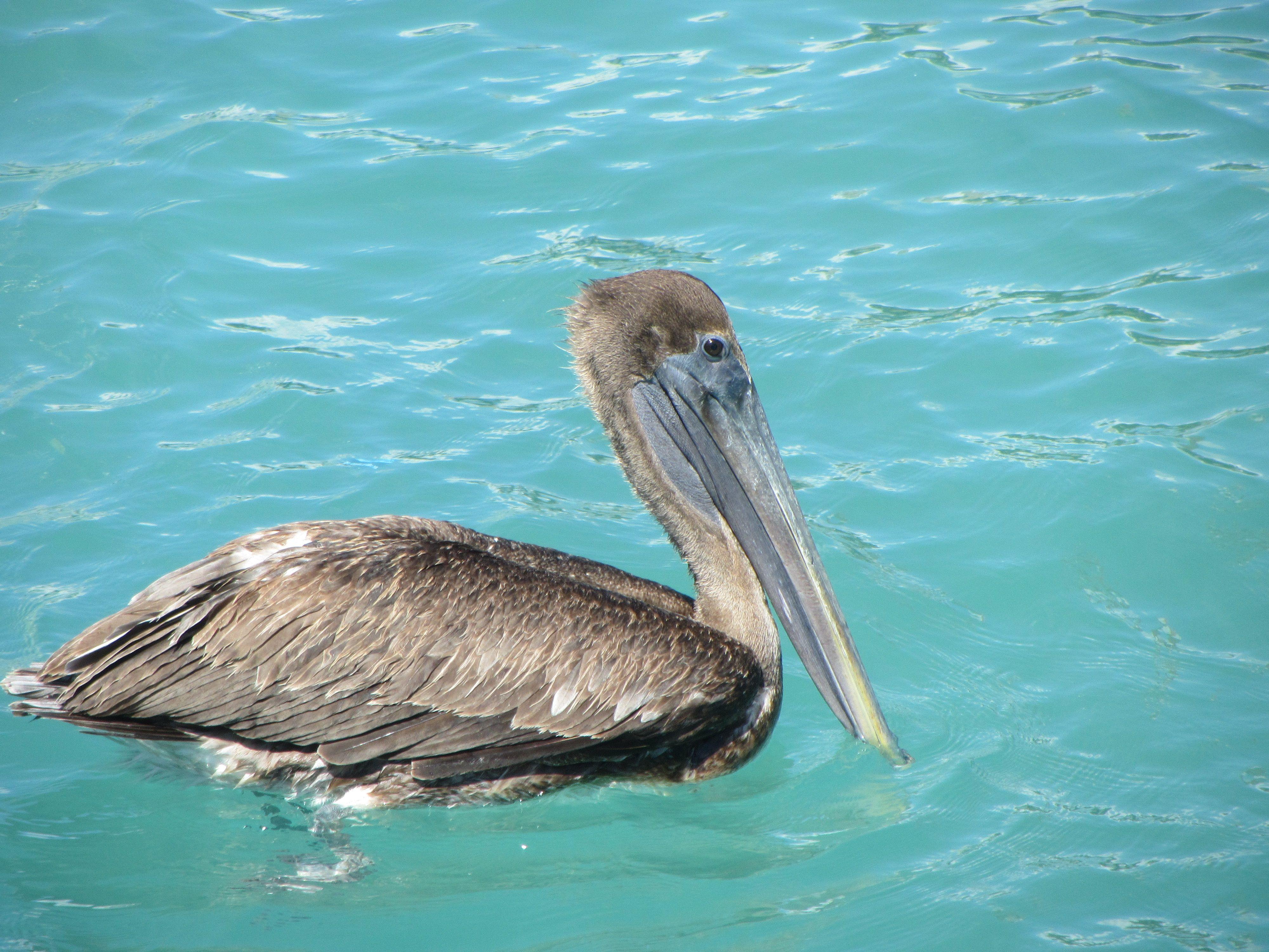 Adorable pelican... Playa Del Carmen, Mexico