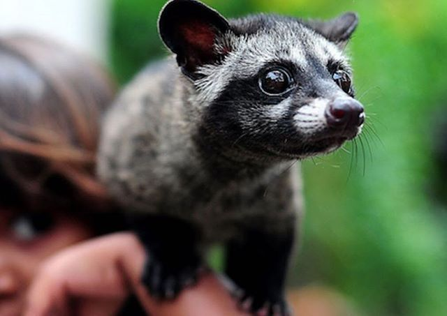 E43 Asian Palm Civet Cat Facts Weird Animals