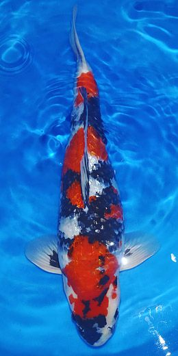 Gin-Rin Showa - black koi with red and white markings (Showa), and reflective silver scales (Gin-Rin)