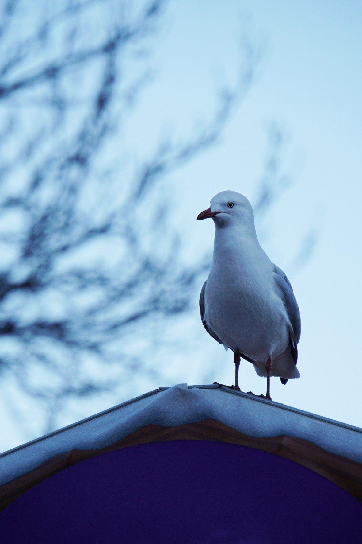 Seagull Federation Square Melbourne