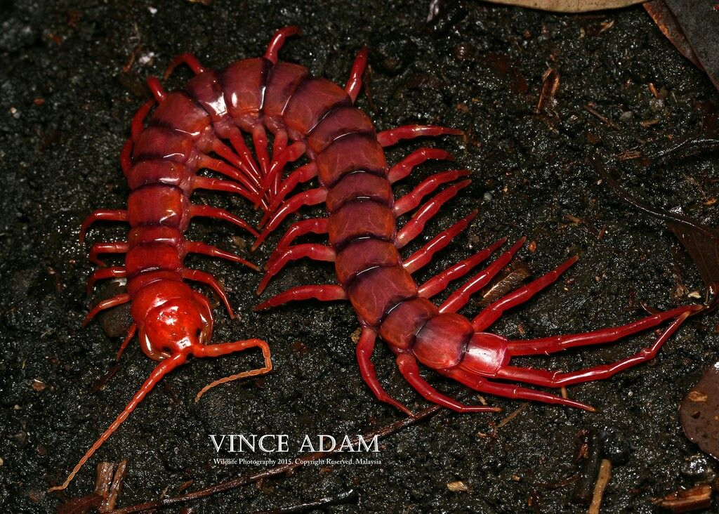 Cherry Red Centipede Centipede, Bugs and insects, Insects