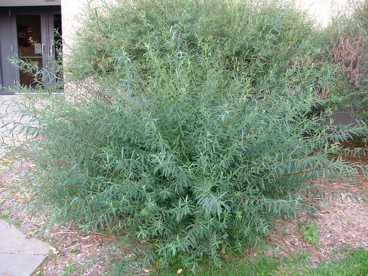 Arctic Blue Leaf Willow Salix Purpurea Nana Syn S F