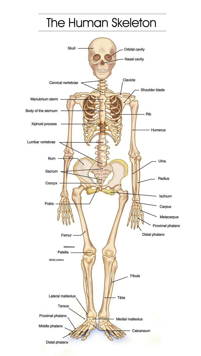 detailed human skeleton diagrams - health, medicine and anatomy