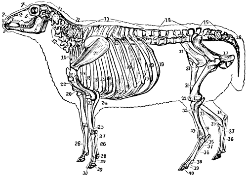 Sheep Skeleton Google Search Articulated Skeletons Pinterest