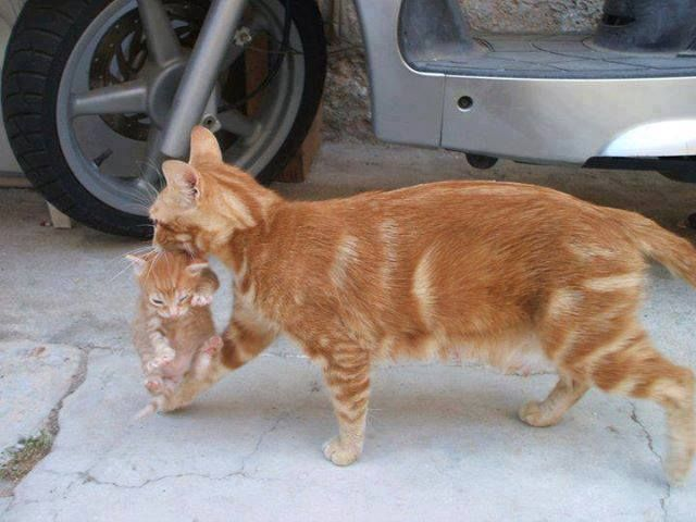 Mother Cats Move Their Kittens At Least Once Presumably They Are Trying To Leave An Area So Saturated With Cat Smells That It May Cats Crazy Cats Orange Cats