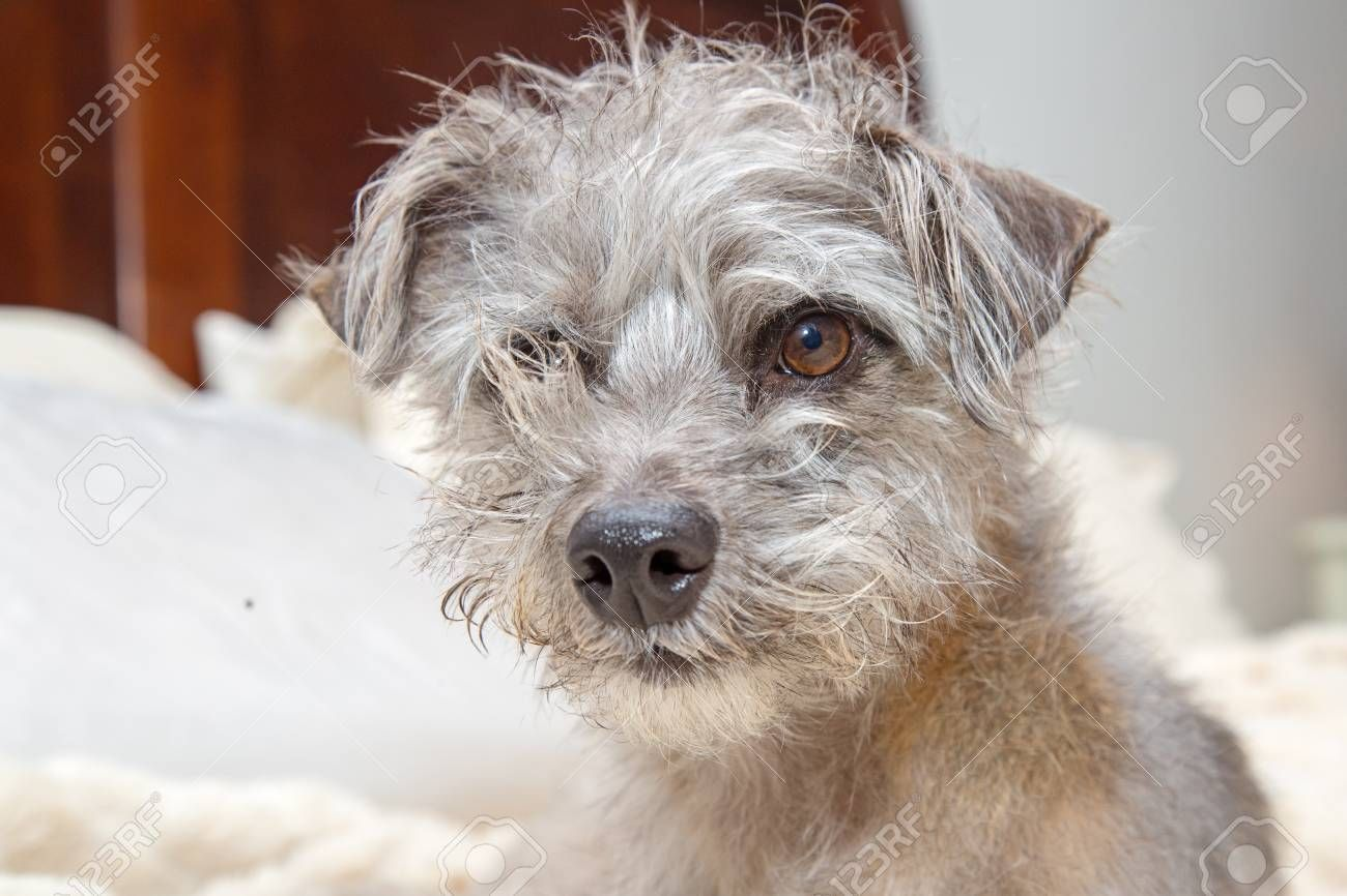 Funny Photo Of Shaggy Small Dog With Messy Hair Lying In Bed Ad Shaggy Small Funny Photo Dog Messy Hairstyles Funny Photos Small Dogs