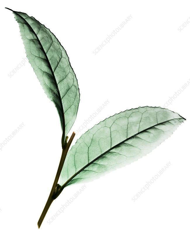 Tea Camellia Sinensis Leaves X Ray Stock Image C028 8478 C0288478 Camellia Image Leaves Sinensis Stock Tea Xray Camellia Stock Images Image