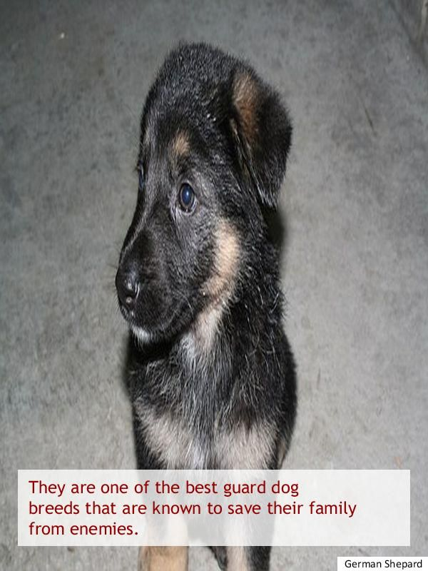 Getting Ideas About German Shepherd Puppies For Adoption Near Me