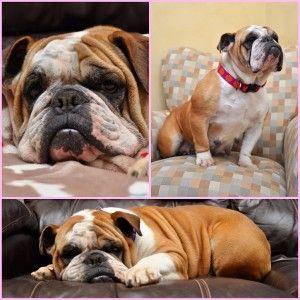 Adopt Ella On Petfinder English Bulldog Dog English Bulldog Pet Photographer