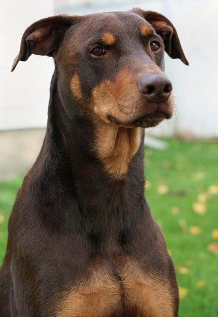 Extremely Photogenic Doberman Doberman Pinscher Dog Breeds