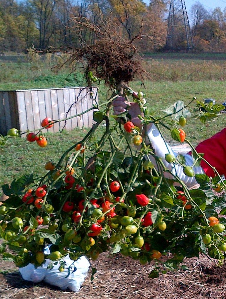 Growing tomatoes 7 simple secrets to grow your best crop