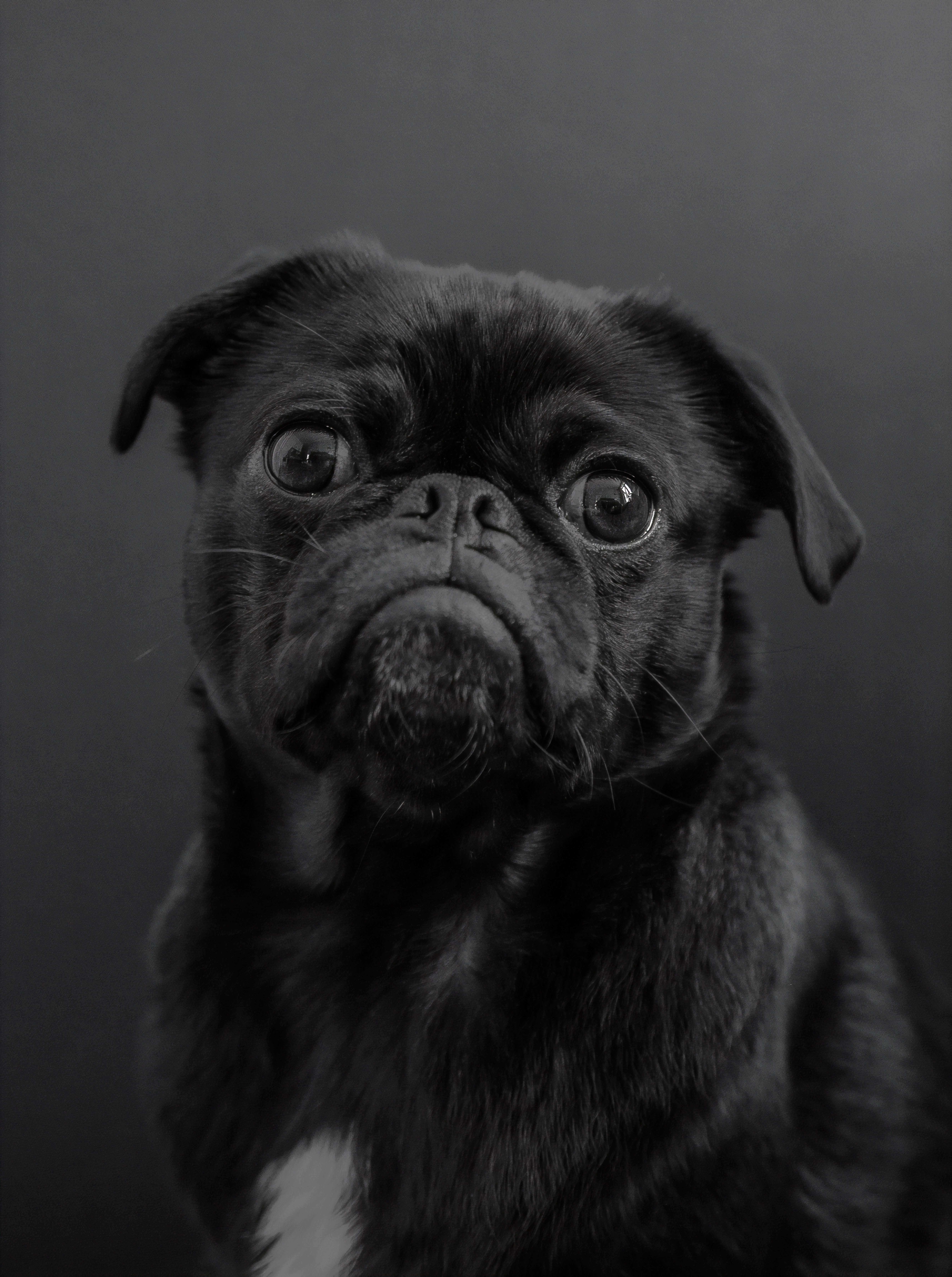 999898 Puppies Cute Puppies Black Pug Puppies