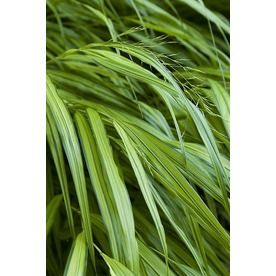 Monrovia 2 6 quart golden japanese forest grass for Mounding grass