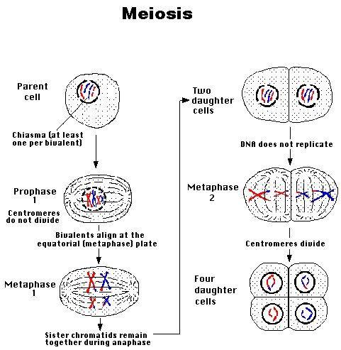 Fantastic summary of meiosis educational pinterest fantastic summary of meiosis ccuart Gallery