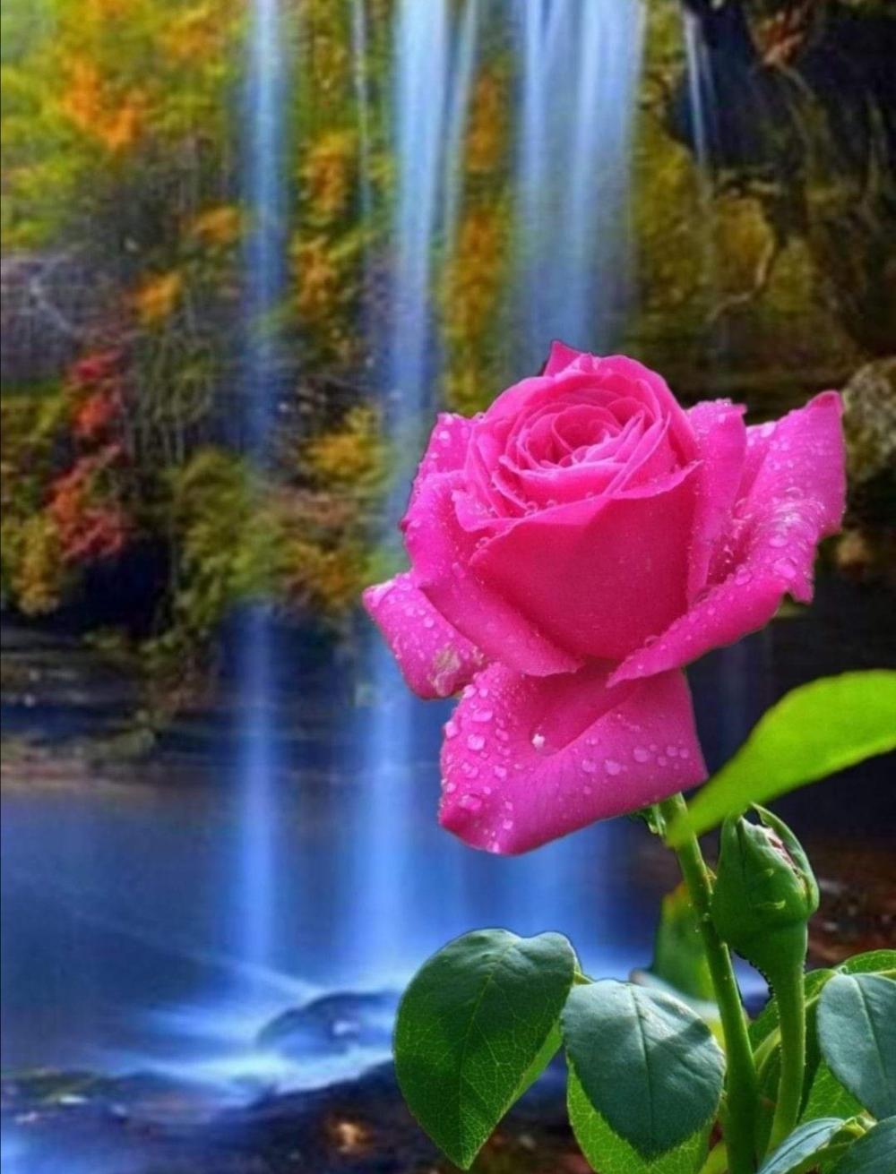 Dh A Na On Twitter Rose Flower Wallpaper Beautiful Rose Flowers Spring Flower Art