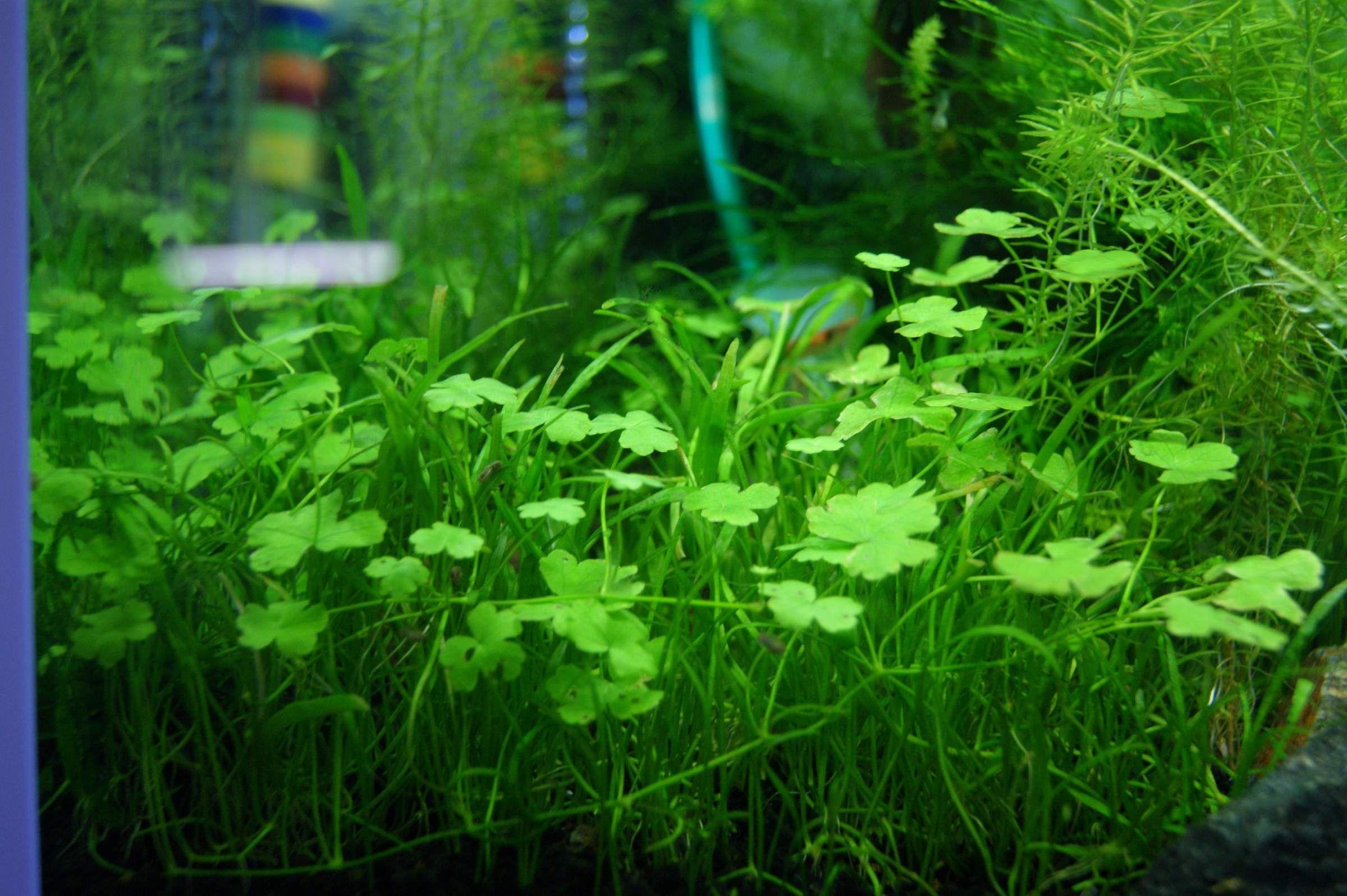 Carpet Aquarium Plants Or Foreground Aquarium Plants Are These Species Of Aquatic Plants Which Cover Th Planted Aquarium Pond Plants Freshwater Aquarium Plants