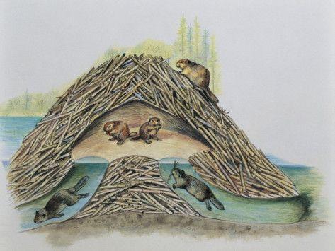 Five Beavers In Their Den Castor Fiber Photographic Print