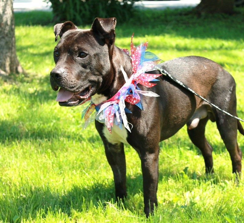 Adopt Billy Martin on Pitbull terrier, Bull terrier dog