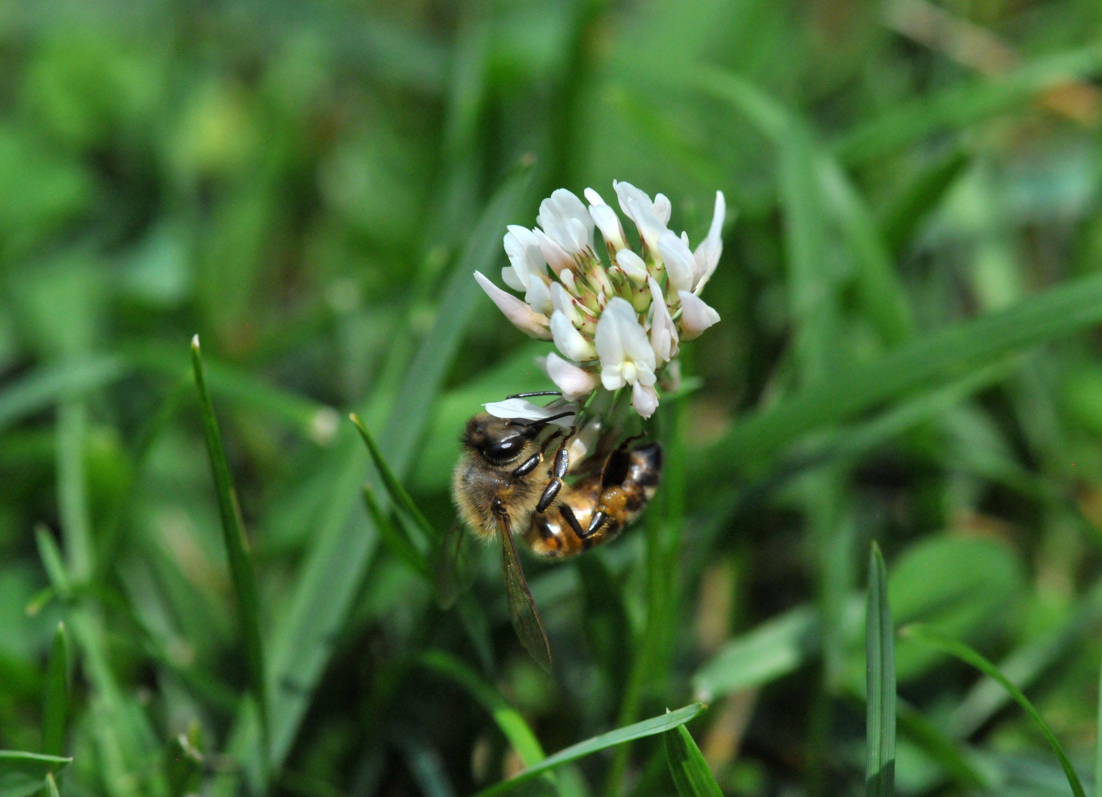 Flowering Weeds Google Search Flowering Clover Oxalis
