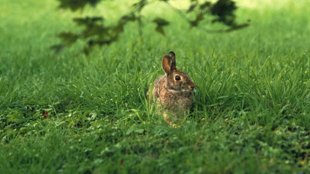 Claim: It's unsafe to eat wild rabbits or hares before the ...