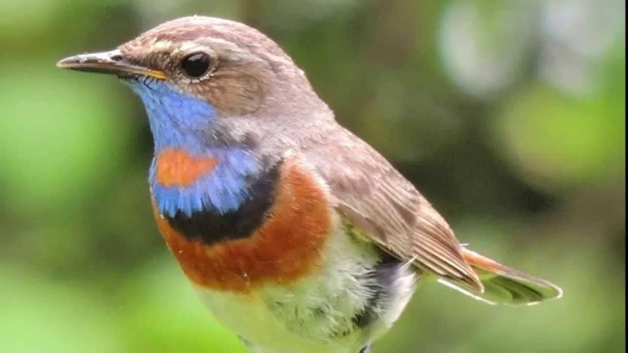 зонирования, птицы с фото и названием звуки издают открытия