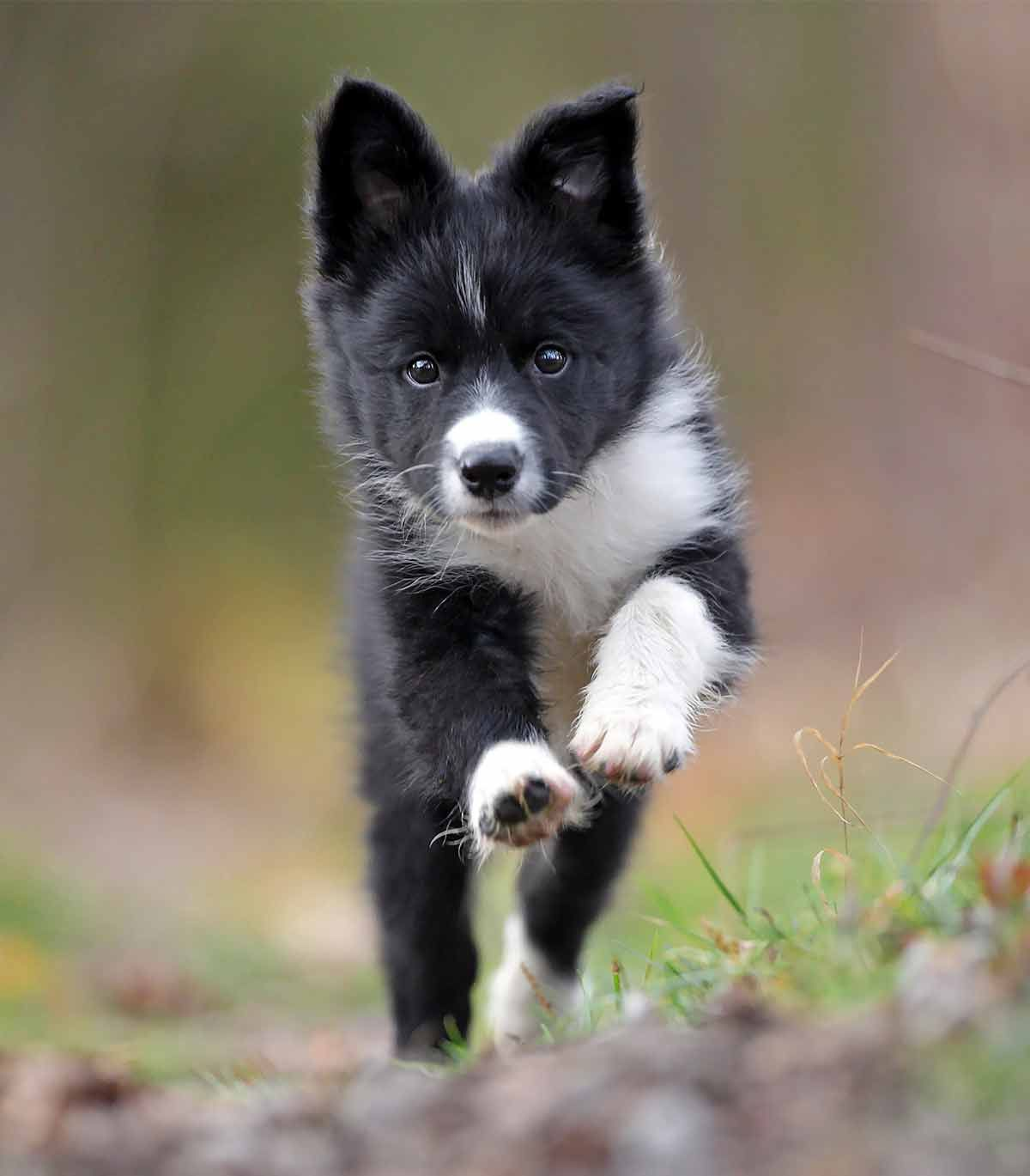 Best food for border collie puppies a mediumlarge breed
