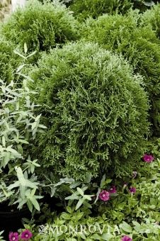 Little Giant Dwarf Arborvitae Thuja Occidentalis Small Globe Shaped Evergreen Shrub A Very Versatile And Useful Plant