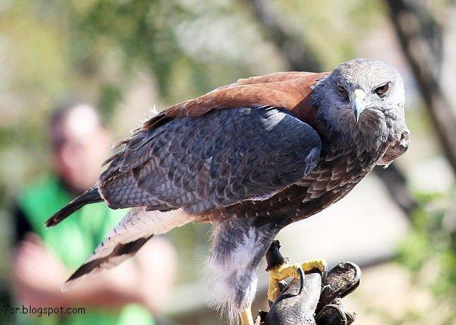 صور صقر خلفيات صقور Hd وبعض المعلومات عن الصقور Animals Pictures Bird