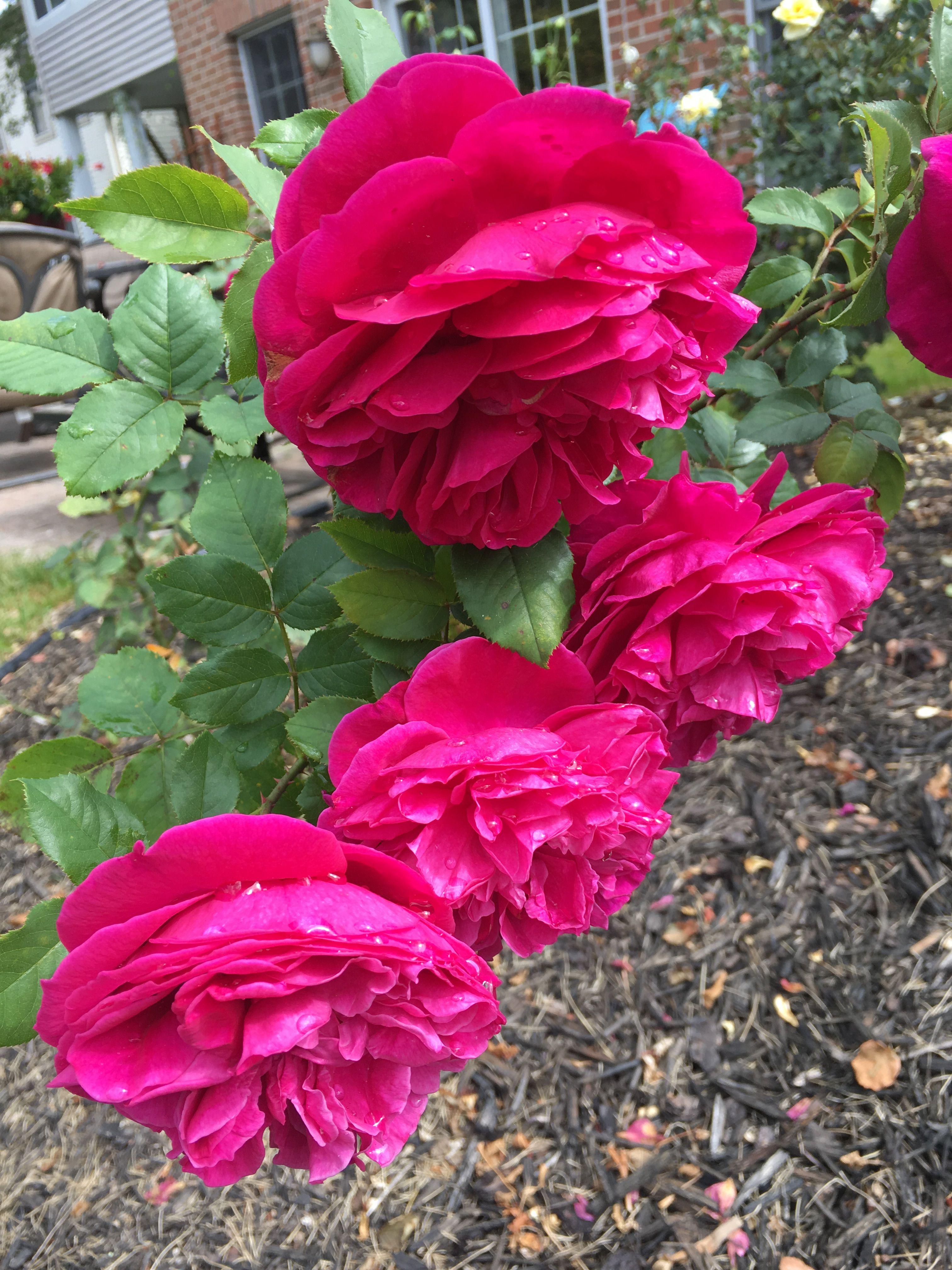Beautiful fragrant roses nicolerovig fragrant roses