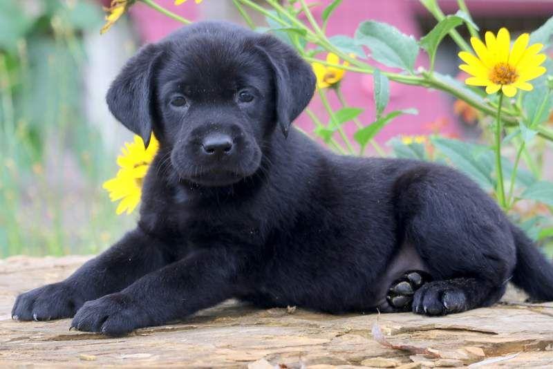 Tarzan Labrador Retriever Black Puppy For Sale Keystone Puppies Labrador Retriever Labrador Puppy Labrador