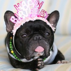 14 French Bulldogs Who Know How To Party Batpig And Me Happy