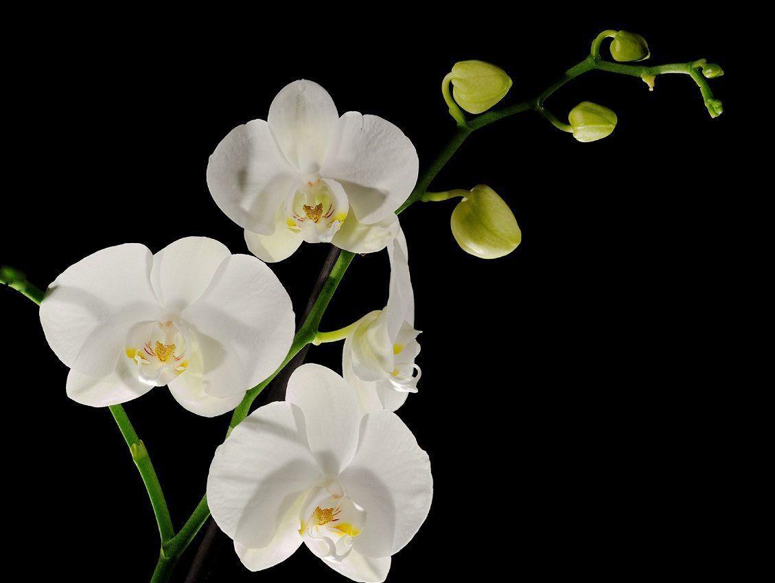 Orquídeas blancas | Orquideas | Pinterest