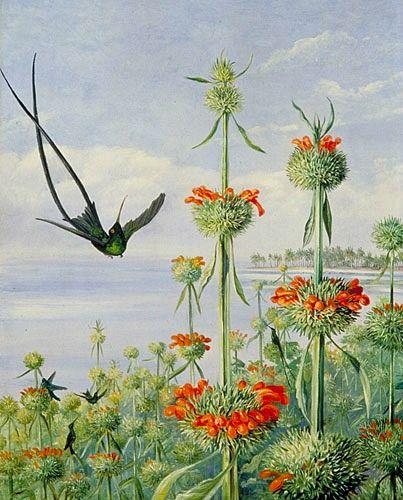 Marianne North Leonotis Nepetaefolia and Doctor Humming Birds, Jamaica 19th century