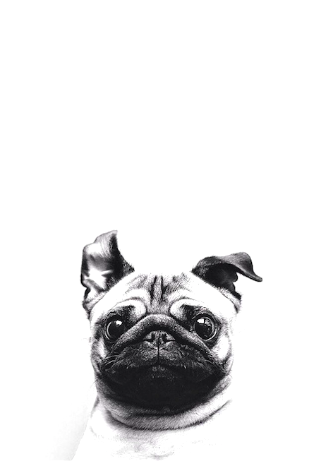 Iphone or android pug dog background wallpaper selected by iphone or android pug dog background wallpaper selected by modemusthaves voltagebd Choice Image