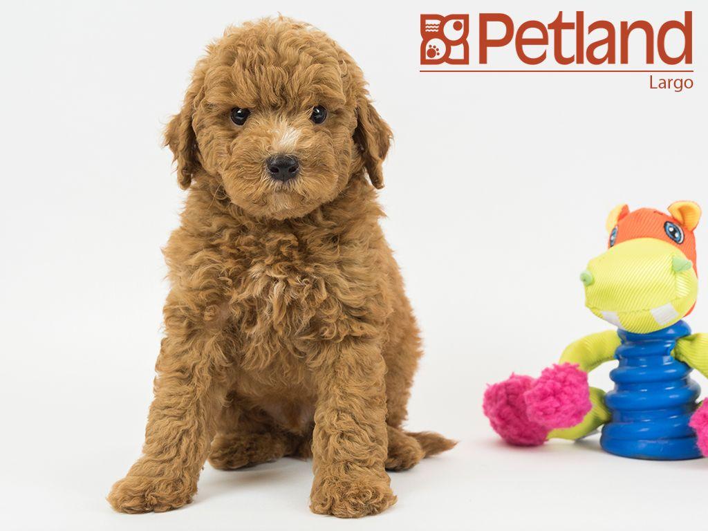 Petland Florida Has Miniature Goldendoodle Puppies For Sale