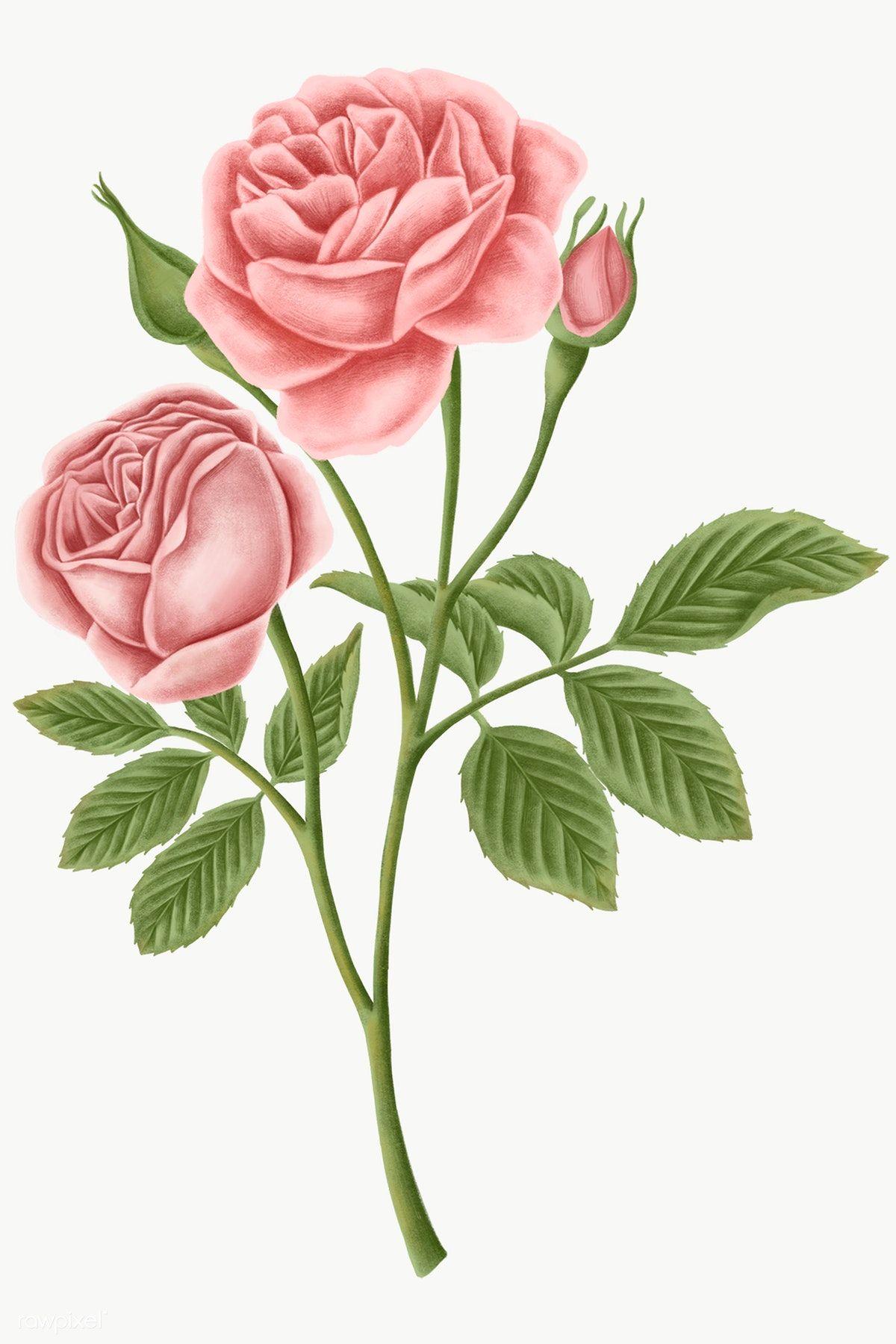 Download Premium Png Of Vintage Rose Flower Transparent Png 2091313 In 2020 Flower Illustration Vintage Roses Botanical Illustration Vintage
