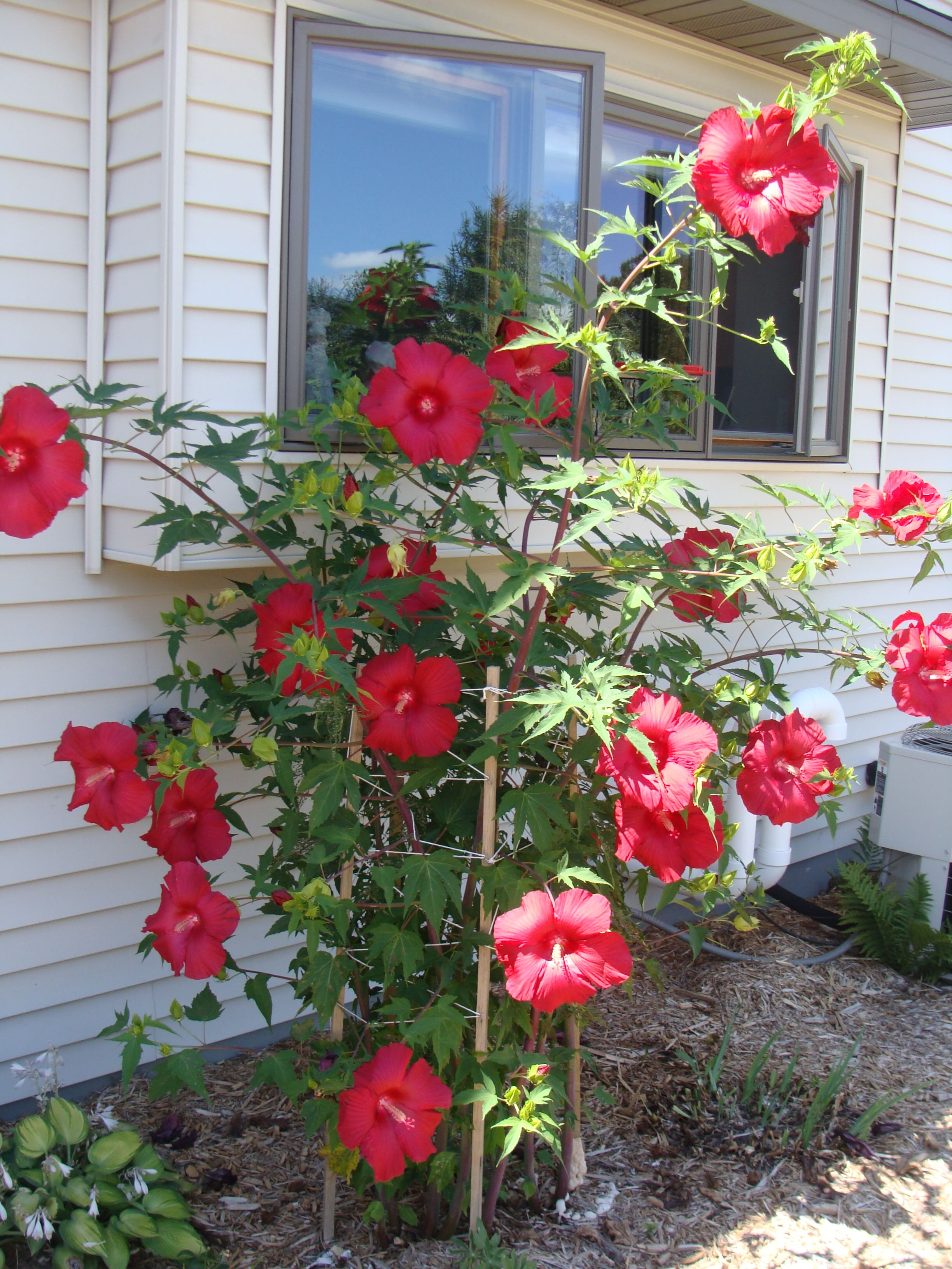 Hardy Hibiscus Zone 4 - Garden Inspiration