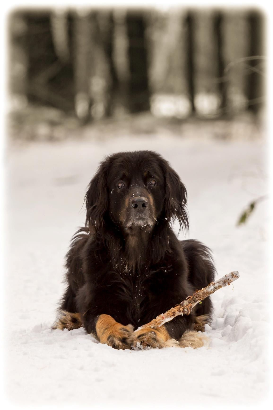 Hovawart Enjoying Snow