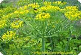 Dill Herb Is A Great Companion Plant And Relieves Hiccups 400 x 300