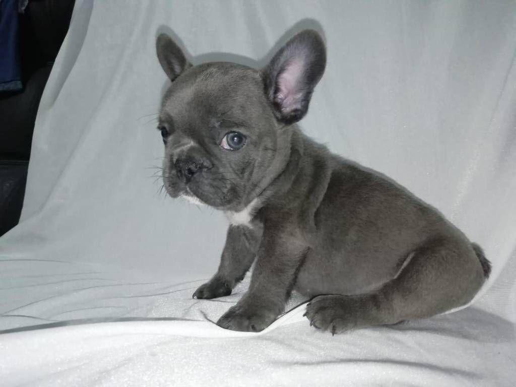 Blue French Bulldog French Bulldog Bulldog French Bulldog Blue