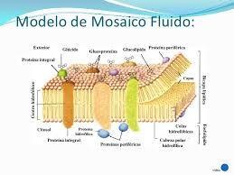 Resultado De Imagen Para Membrana Plasmatica Y Sus Partes Biologia Bioquimica Fisiologia