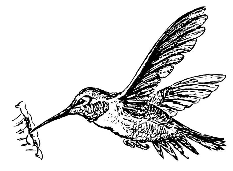 Coloring page bird - Hummingbird | Coloring Pages for All Ages ...