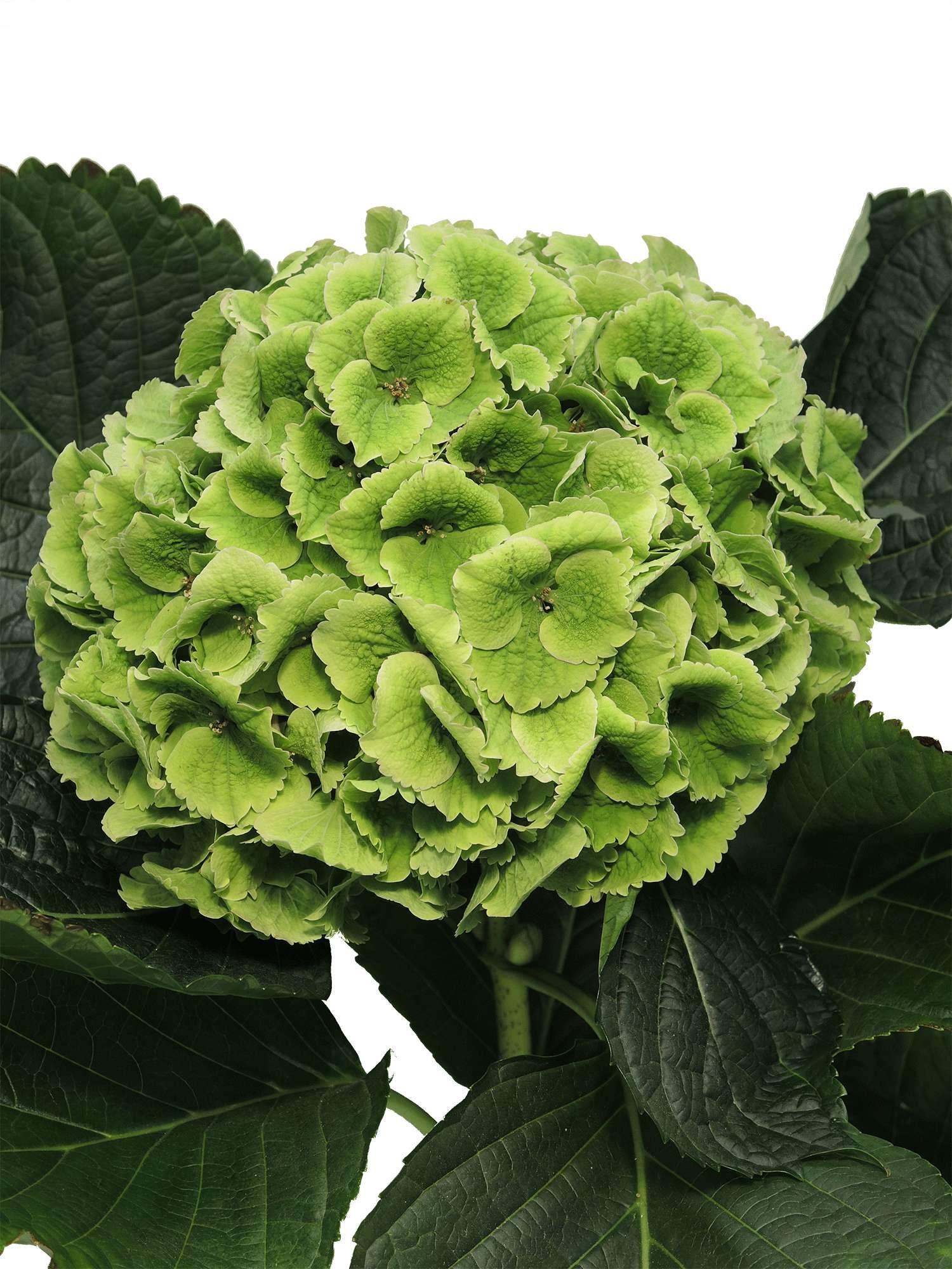 """Hortensie """"Emerald Green Classic"""" grün als Schnittblume Saison im"""